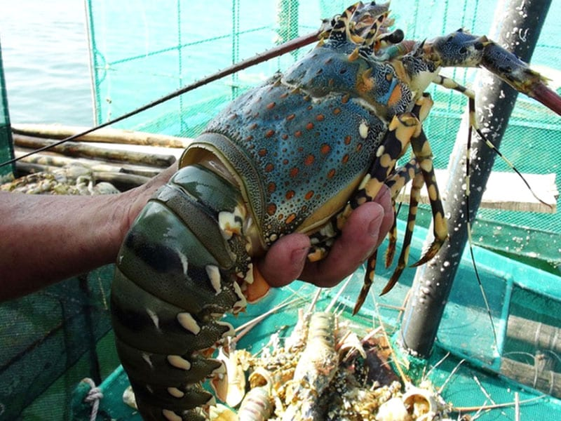 phân biệt tôm biển,tôm nuôi